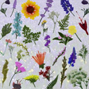 Photoshop: Pressed wildflowers (various pressed wildflowers and foliage)