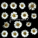 Photoshop: flowers 02 (various daisies)