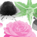 Photoshop: Flowers 1 (Roses and other flowers (300 to 900 pixels))