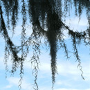 Photoshop: Spanish moss (various shapes of spanish moss. Spanish moss is that moss that hangs from various trees in the tropics, swamps, etc. This comes in clumps, dangling tendrils and loops. High resolution (average size about 1500 pixels).)