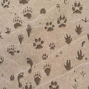 Photoshop: Animal Tracks (Various animal tracks (or prints). Includes: armadillo, bear, beaver, coyote, crow, deer, dog, fox, housecat, human, opossum, rabbit, raccoon, skunk, squirrel, wolf, and more!)