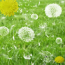 Photoshop: Dandelions (various dandelion forms)